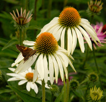 Load image into Gallery viewer, Echinacea 'White Swan'