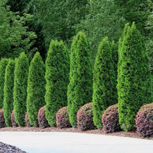 Load image into Gallery viewer, Arborvitae 'Emerald Green'