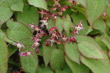 Load image into Gallery viewer, Epimedium 'Rubrum'