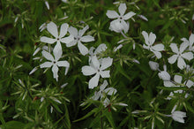 Load image into Gallery viewer, Phlox 'May Breeze'