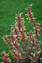 Load image into Gallery viewer, Agastache 'Peachie' Keen'
