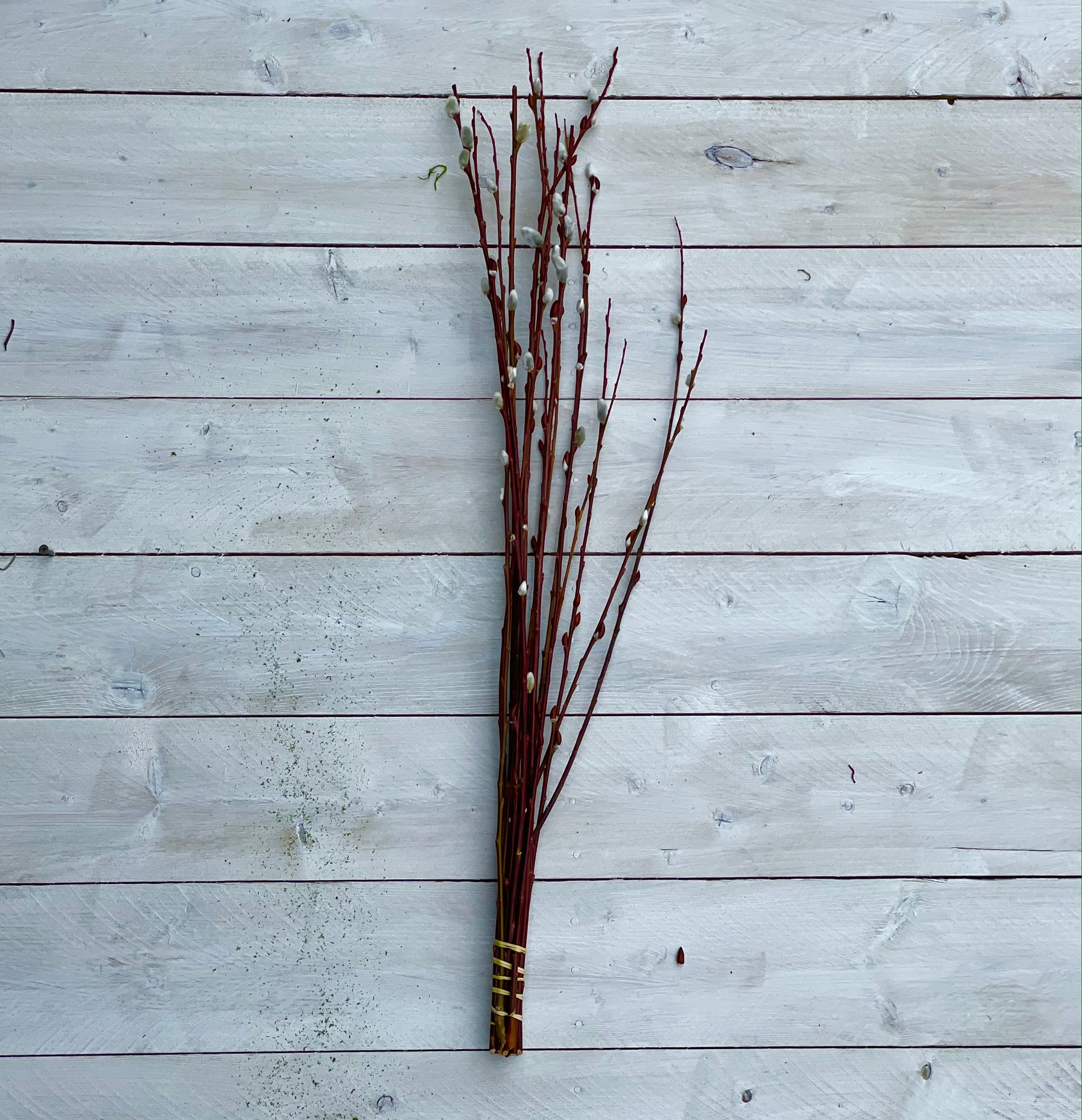 Pussy Willow Branch tips