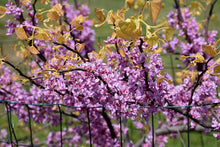 Load image into Gallery viewer, Cercis 'Rising Sun'