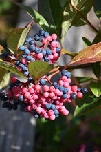 Load image into Gallery viewer, Viburnum 'Brandywine'
