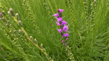 Load image into Gallery viewer, Liatris microcephala
