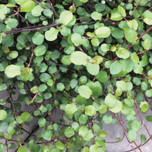 Load image into Gallery viewer, Muehlenbeckia 'Wire Vine'