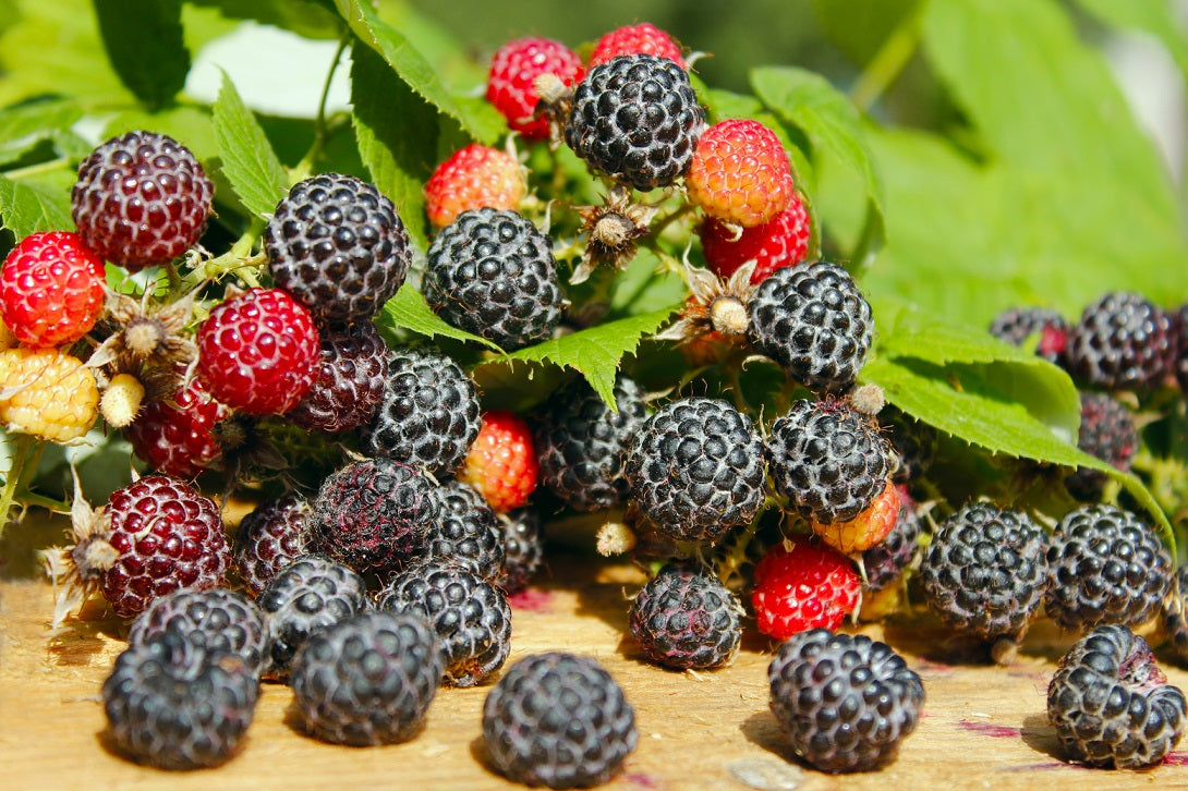 Black Raspberry 'Ohio's Treasure'