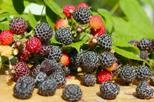Load image into Gallery viewer, Black Raspberry 'Ohio's Treasure'
