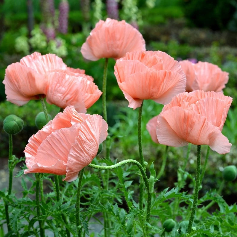 Poppy (Papaver) 'Princess Victoria Louise'