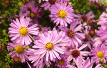 Load image into Gallery viewer, Aster Wood's Pink