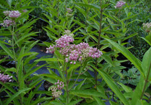Load image into Gallery viewer, Asclepias 'Incarnata'
