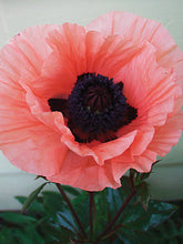 Load image into Gallery viewer, Poppy (Papaver) 'Princess Victoria Louise'