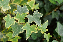 Load image into Gallery viewer, Hedera Ivy 'Gold Child'