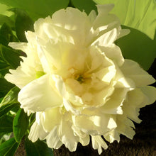 Load image into Gallery viewer, Peony 'Goldmine'