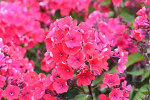 Load image into Gallery viewer, Phlox 'Starfire'