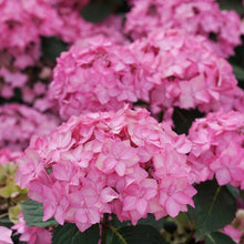 Load image into Gallery viewer, Hydrangea Let's Dance® Cancan®