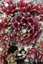 Load image into Gallery viewer, Sempervivum 'Jade Rose'
