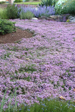Load image into Gallery viewer, Thyme 'Pink Chintz'