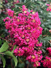 Load image into Gallery viewer, Crape Myrtle 'Tonto'