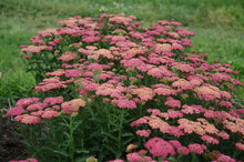 Load image into Gallery viewer, Achillea 'Sassy Summer Taffy'