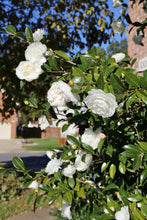 Load image into Gallery viewer, Camellia 'Autumn Moon'