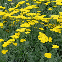 Load image into Gallery viewer, Achillea 'Moonshine'