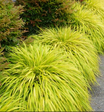 Load image into Gallery viewer, Hakonechloa 'All Gold'