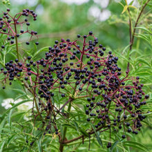 Load image into Gallery viewer, American Elderberry