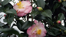 Load image into Gallery viewer, Camellia 'April Remebered'