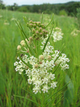 Load image into Gallery viewer, Asclepias 'Verticillata'