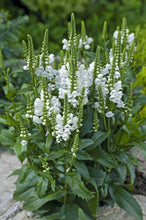 Load image into Gallery viewer, Physostegia 'Crystal Peak White'