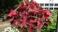 Load image into Gallery viewer, Caladium 'Hot 2 Trot'