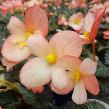 Load image into Gallery viewer, Begonia 'Waterfalls Angel Soft Pink'