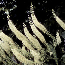 Load image into Gallery viewer, Actaea 'Racemosa'