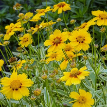 Load image into Gallery viewer, Coreopsis 'Tequila Sunrise'