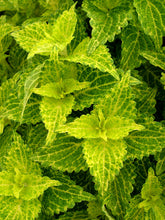 Load image into Gallery viewer, Coleus 'Electric Lime'