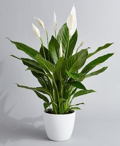 Peace Lilly (Baltimore only)