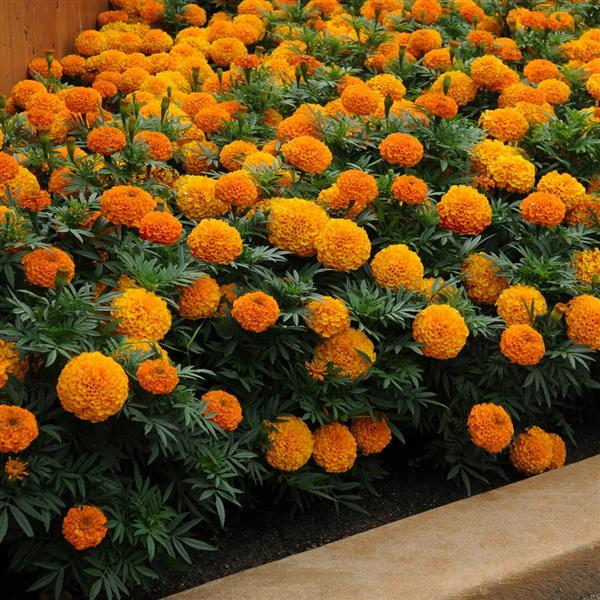 Marigold (African) 'Taishan Orange'