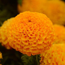 Load image into Gallery viewer, Marigold (African) 'Taishan Orange'