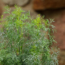 Load image into Gallery viewer, Dill 'Fernleaf'