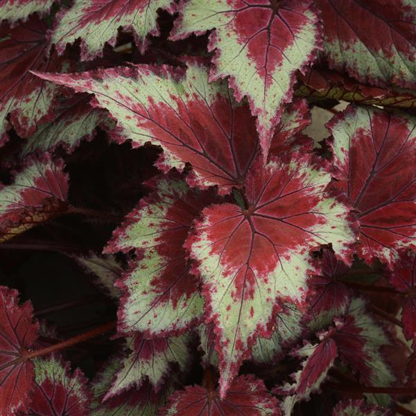 Begonia 'Jurassic Red Splash'