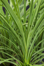 Load image into Gallery viewer, Dracena Spike - Green