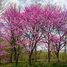 Load image into Gallery viewer, Eastern Redbud