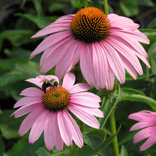 Load image into Gallery viewer, Echinacea 'Magnus'