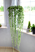 Load image into Gallery viewer, Senecio Rowleyanus 'String of Pearls'