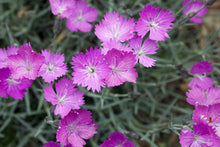Load image into Gallery viewer, Dianthus 'Firewitch'