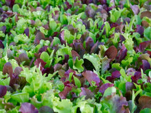 Load image into Gallery viewer, Lettuce 'Mesclun Mix' - 6-pack