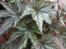 Load image into Gallery viewer, Begonia 'Pegasus'
