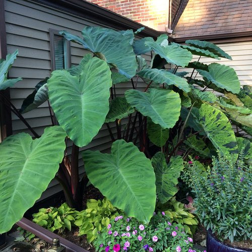Colocasia 'Heart of the Jungle' (Elephant Ears)