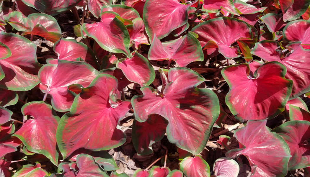 Caladium 'Hot 2 Trot'